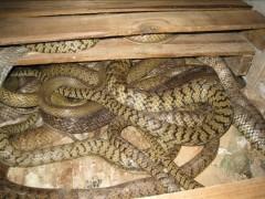 立体水律蛇养殖 (8)