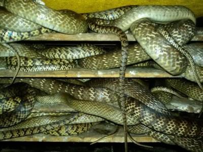 偷拍水律蛇进食_水律蛇养殖技术视频 (1093播放)