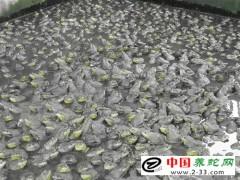 养蛇饲料之青蛙和蟾蜍(癞蛤蟆)的科学投喂方法