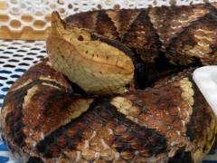 2018年的五步蛇成蛇 (11)