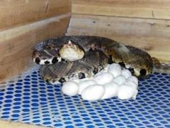 五步蛇种蛇产蛋 (3)