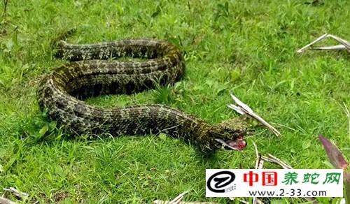 莽山烙铁头蛇养殖