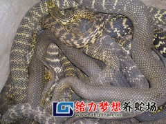 大王蛇养殖 ()