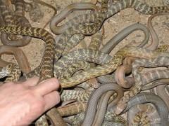 大王蛇的养殖方法 ()